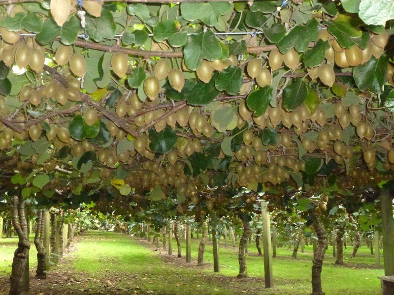 Plantacion kiwi amarillo web 800