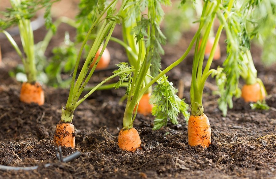 zanahoria-tierra
