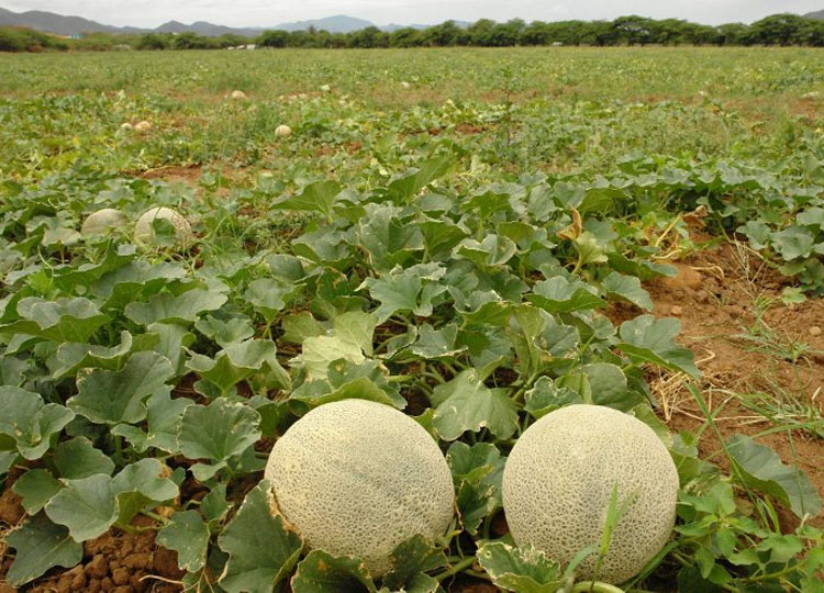 vivero_melon